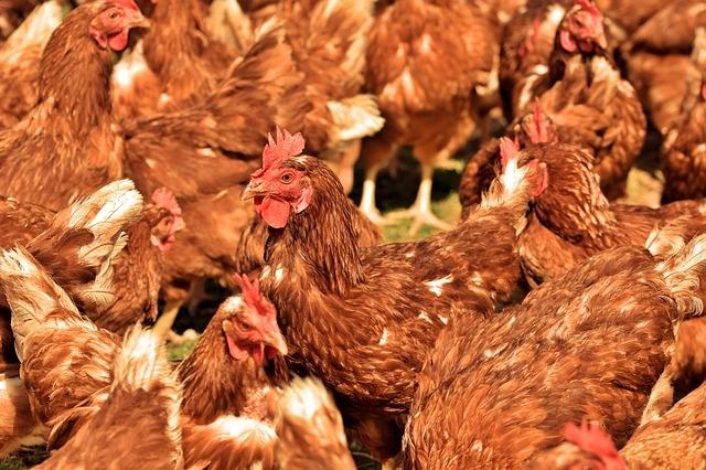 Csirkék takarmányozása gombával
